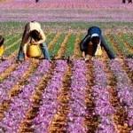 Come avviare una coltivazione di zafferano
