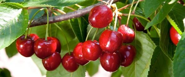 coltivazione ciliegie in serra