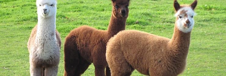 allevare alpaca e lama