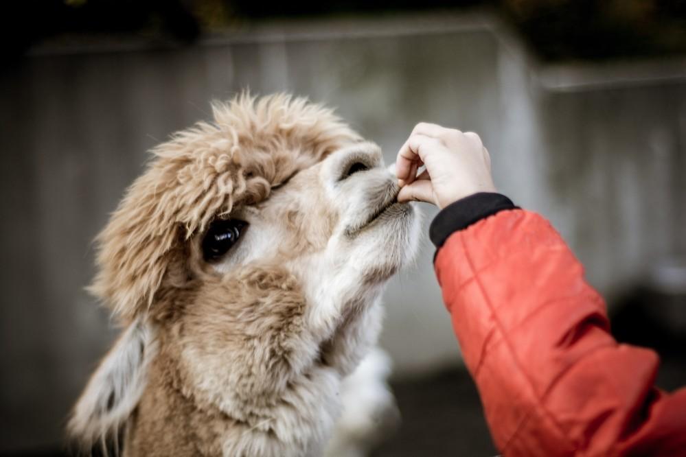 allevamento alpaca e lama