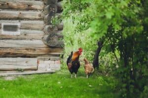aprire allevamento galline