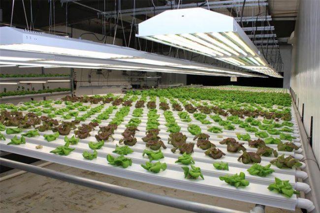 coltivazione idroponica