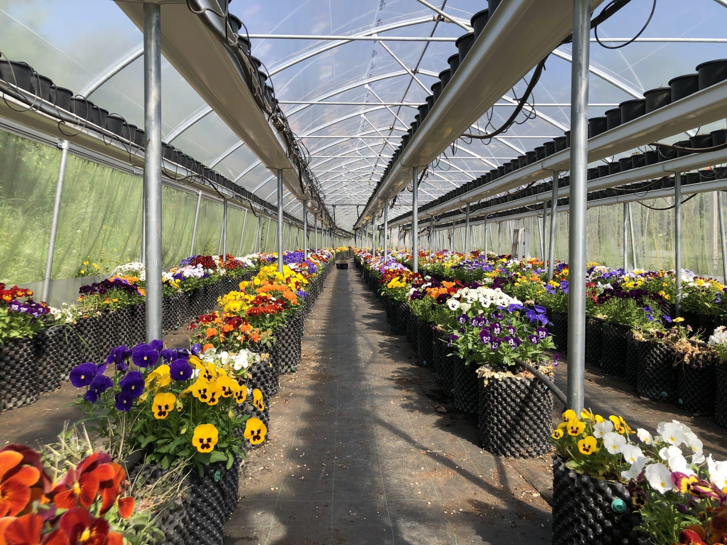 coltivazione fiori eduli